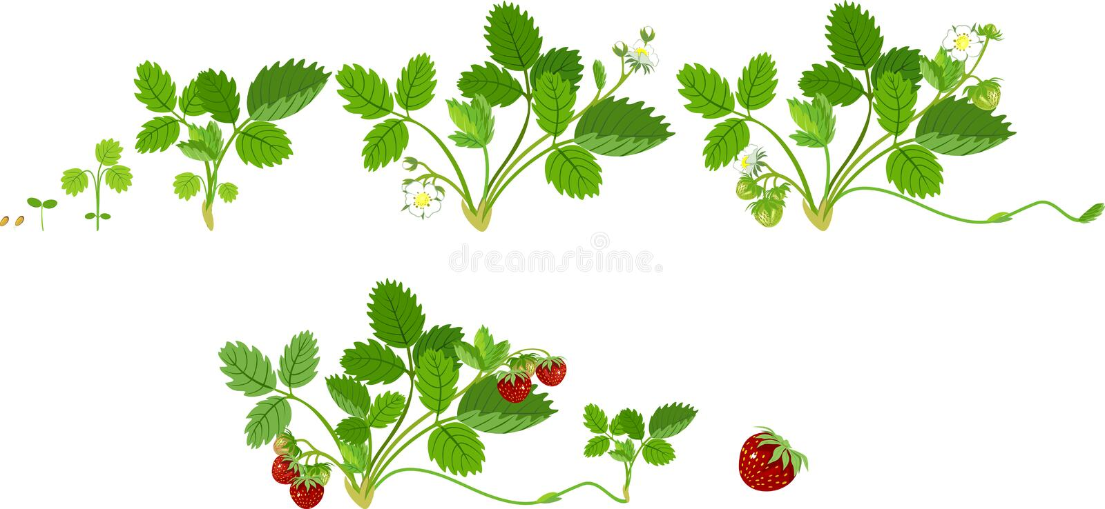 Growth stages of strawberry plant royalty free illustration