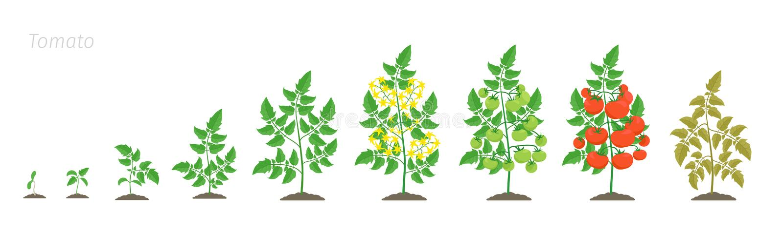 Growth stages of tomato plant. Solanum lycopersicum. Ripening period. The life cycle of the tomatoes. Color vector. Growth stages of tomato plant. Solanum stock illustration