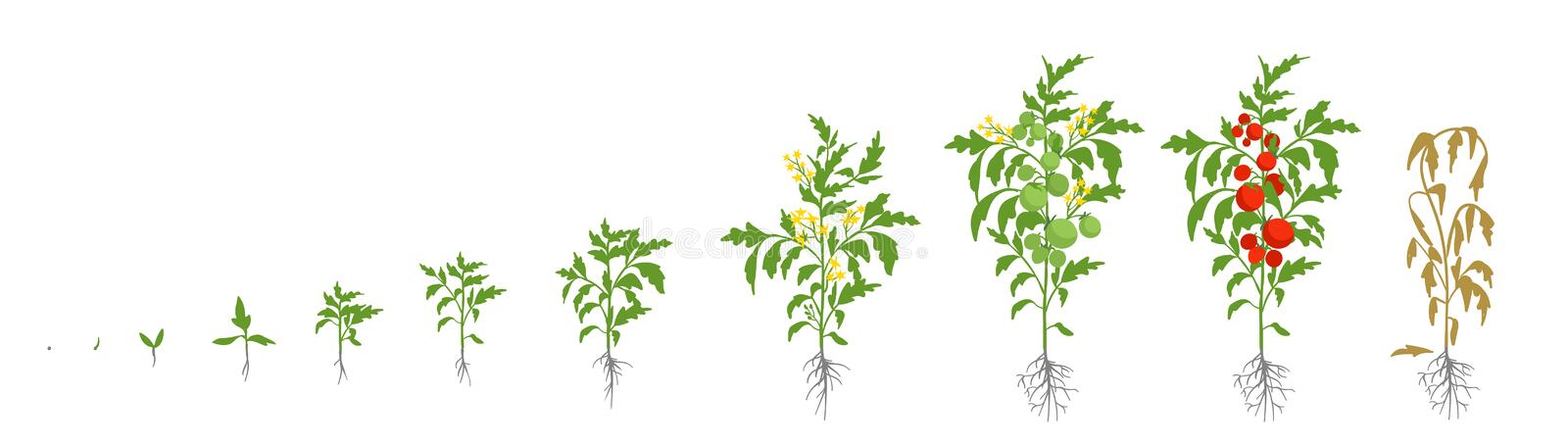 Growth stages of tomato plant. Vector illustration. Solanum lycopersicum. Ripening period. From sprout to bush with. Fruits. The life cycle of the tomatoes stock illustration