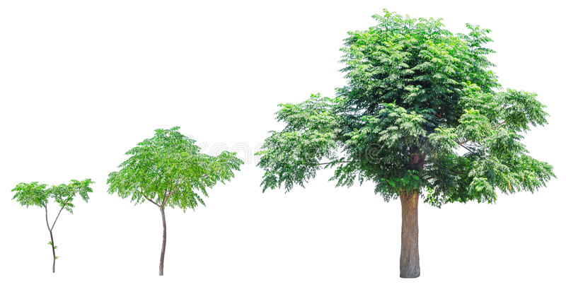 Growth stages of tree. Growing tree isolated on white background. Growth stages stock photos