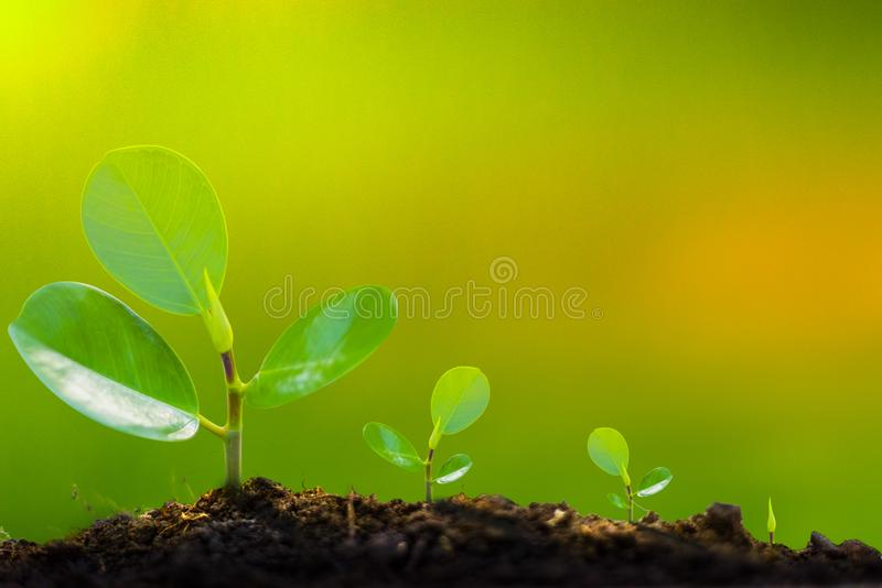 The growth of the tree begins from seedlings to the beginning. Yellowish green Can write letters royalty free stock photos