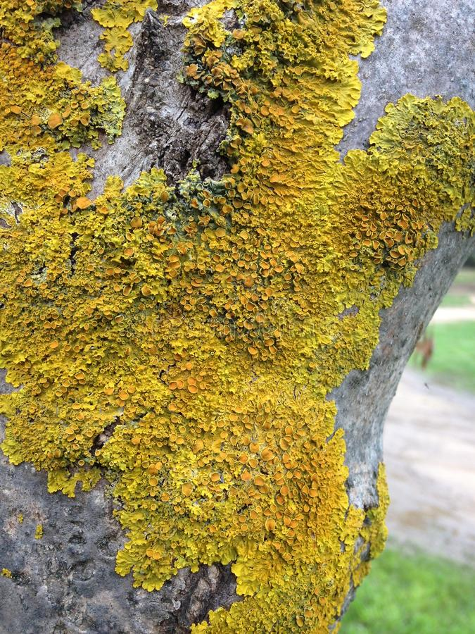 Growth on Tree. Mosses are small flowerless plants that typically grow in dense green clumps or mats, often in damp or shady locations. The individual plants are royalty free stock photo