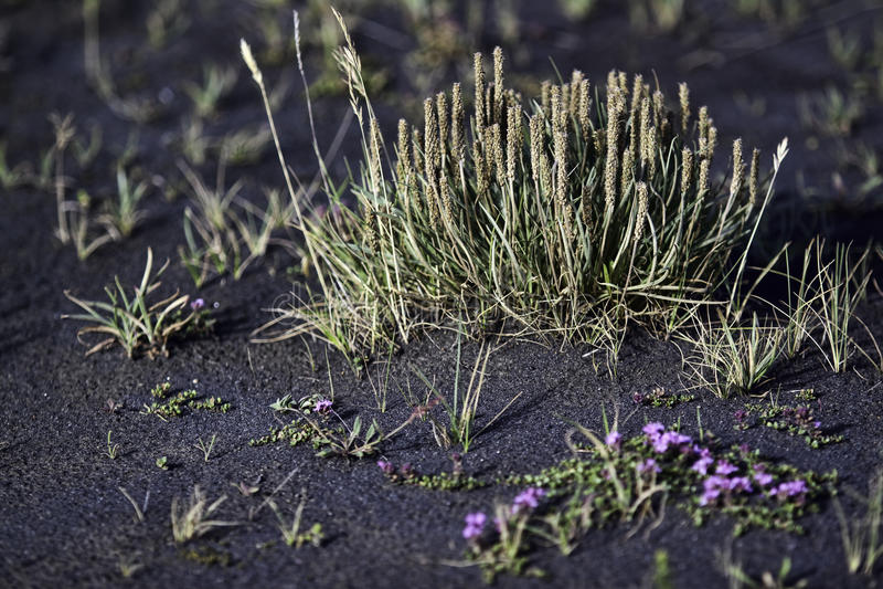Growth Through Volcanic Ash Stock Photography