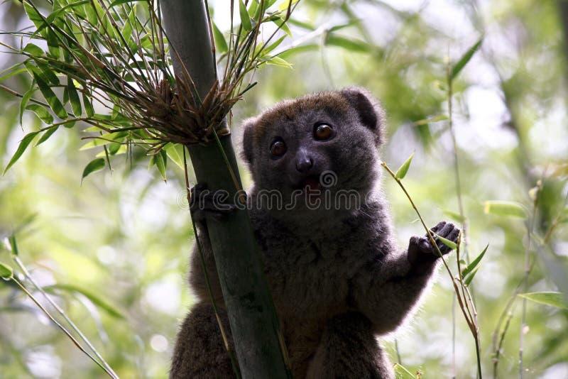 groził, że bambus krytycznie wielkiego endemicznego hapalemur Madagaskaru lemura parku narodowego ranomafana simus southeastern obrazy stock