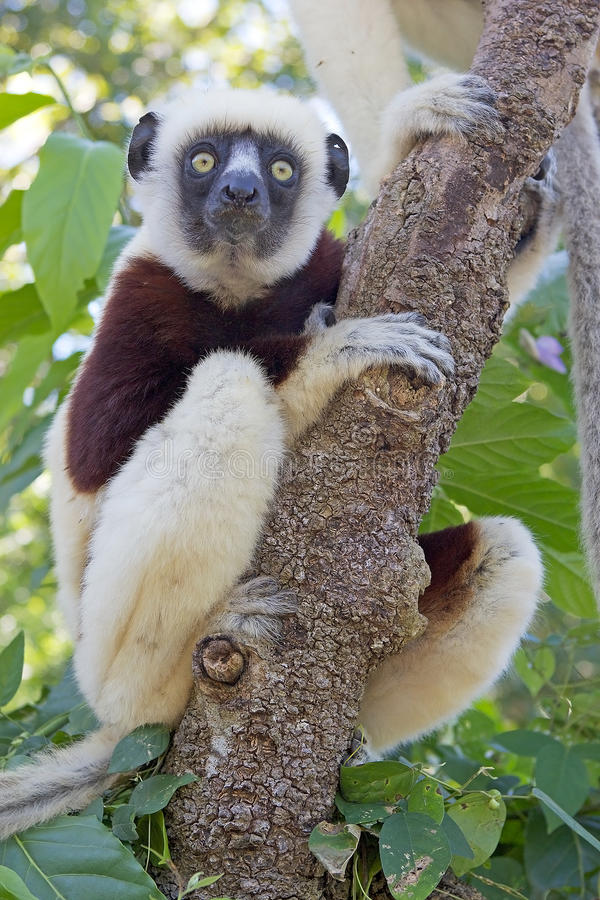 groził coquereli antananarivo coquerel endemicznego Madagaskaru lemura park jest propithecus sifaka zdjęcia royalty free