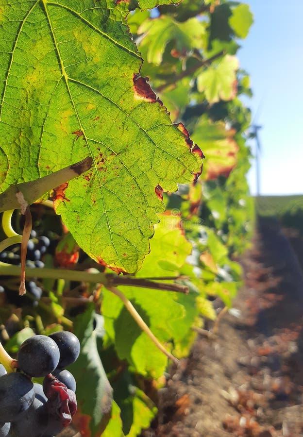 Grspevin detalj, vingård i Portugal royaltyfri bild