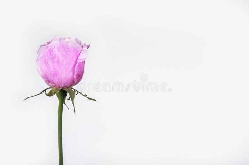 Grußkarte mit Rosarose und Fülle oder leerer Kopienraum lizenzfreie stockfotografie