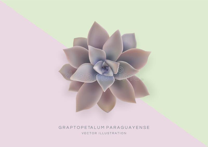 Grußkartenschablone mit Blume Graptopetalum-paraguayense Geist-Anlage Realistische vektorabbildung vektor abbildung