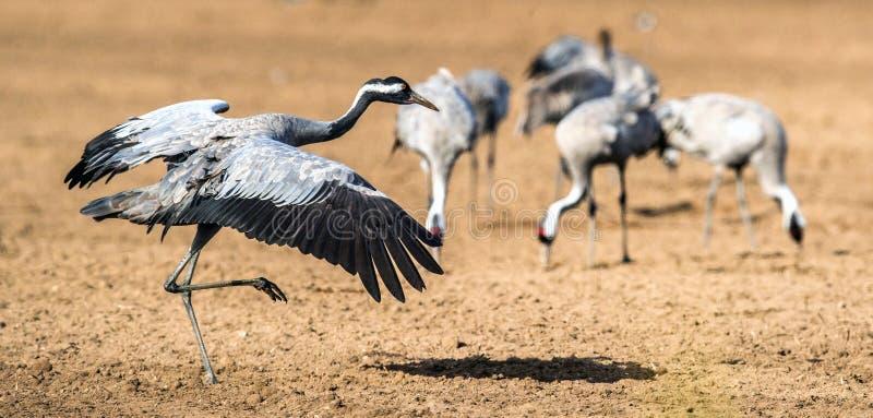 Gru ballanti nel campo arabile Gru comuni fotografia stock libera da diritti