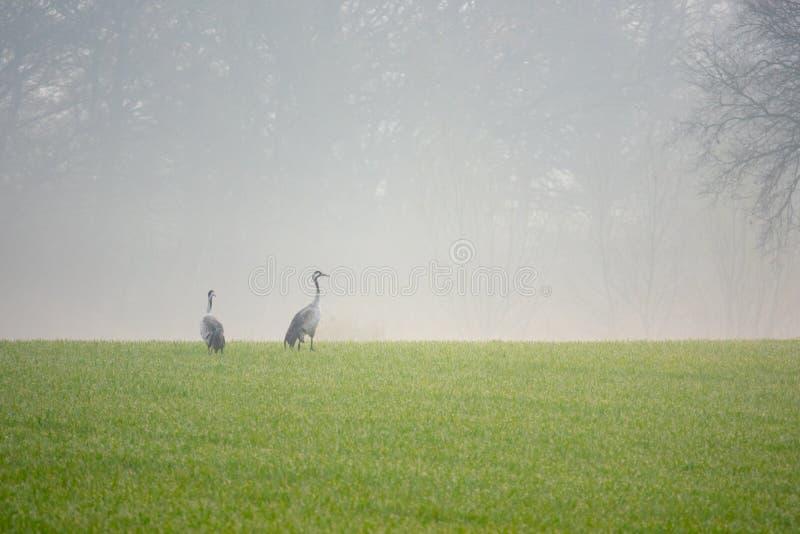 2 gru che cercano alimento in un campo nelle prime ore del mattino fotografie stock
