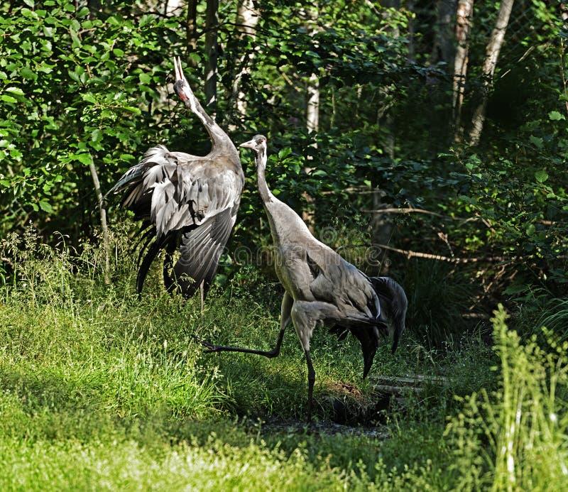 Gru comune di gru delle gru, anche conosciuta come le gru euroasiatiche Uccelli di dancing fotografia stock