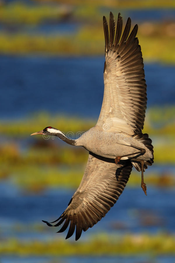 Gru comune, gru di gru, grande uccello volante nell'habitat della natura, lago Hornborga, Svezia immagine stock libera da diritti