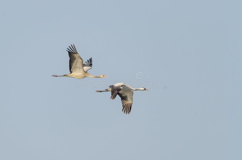 Gru comune - mosca dell'uccello immagine stock libera da diritti