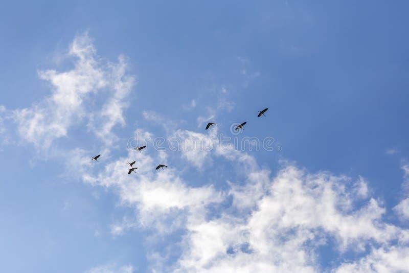Gru comuni nel cielo fotografia stock