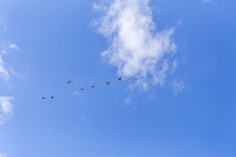Gru comuni nel cielo fotografia stock libera da diritti