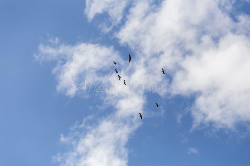 Gru comuni nel cielo immagine stock