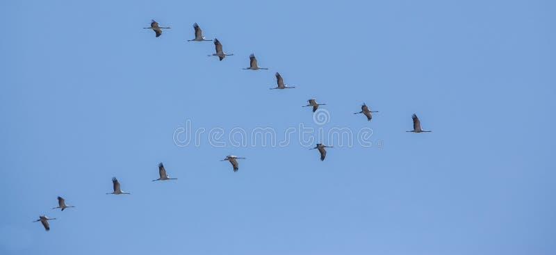 Gru comuni su migrazione fotografie stock libere da diritti