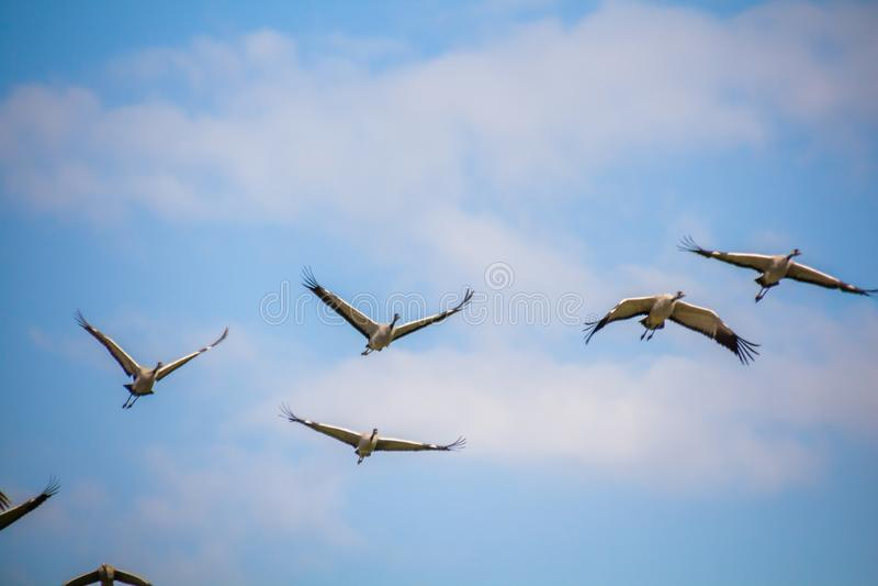 Gru comuni volanti di migrazione contro cielo blu con le nuvole bianche immagini stock libere da diritti