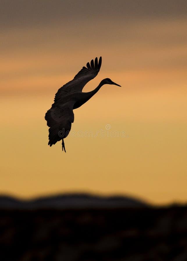 Gru di Sandhill al tramonto che prepara atterrare - il New Mexico immagine stock