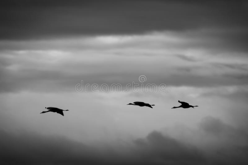 Gru di Sandhill in volo, in bianco e nero fotografia stock