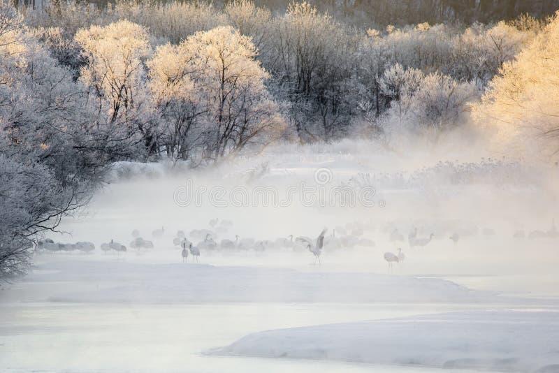 Gru nella foschia: Crane Dance nel fiume fotografia stock libera da diritti