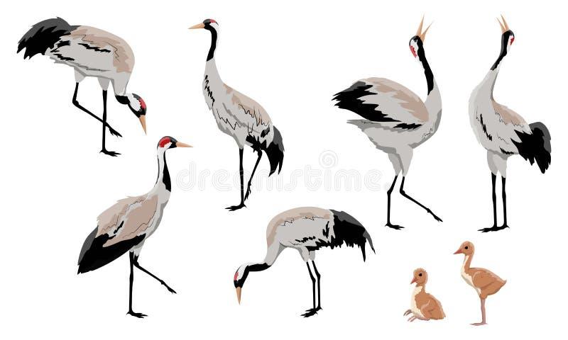 Gru o gru comune di gru o gru euroasiatica Una collezione di gru grige in varie pose Gli uccelli stanno cercando l'alimento, cond illustrazione di stock