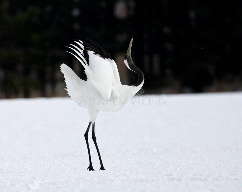 gru Rosso-incoronata, cinese Kraanvogel, japonensis di gru immagine stock libera da diritti