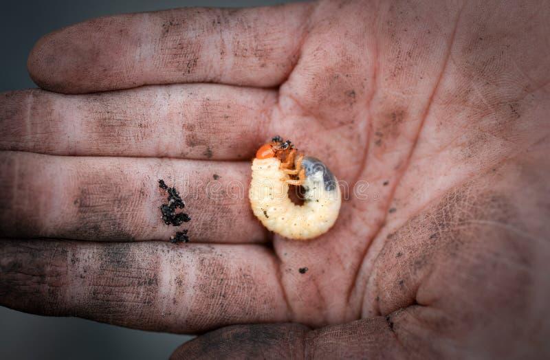 Beetle grub on dirty human hand stock photo