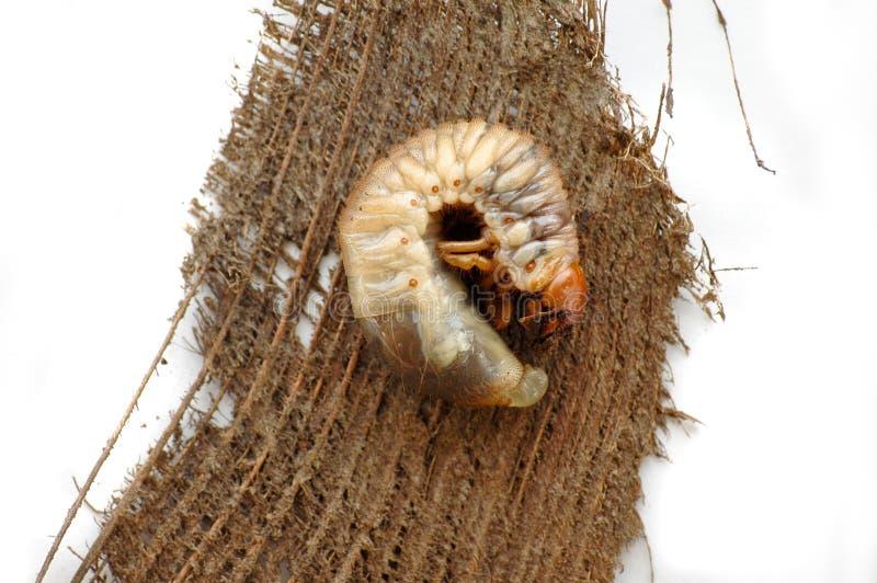 Grub do besouro que encontra-se em uma casca de árvore foto de stock