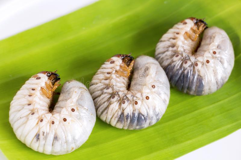 Grub Worm or Oryctes Rhinoceros Beetle. Insects food for eating cooked larva fried or baked on banana leaf in plate, it is good. Source of protein which edible stock photo