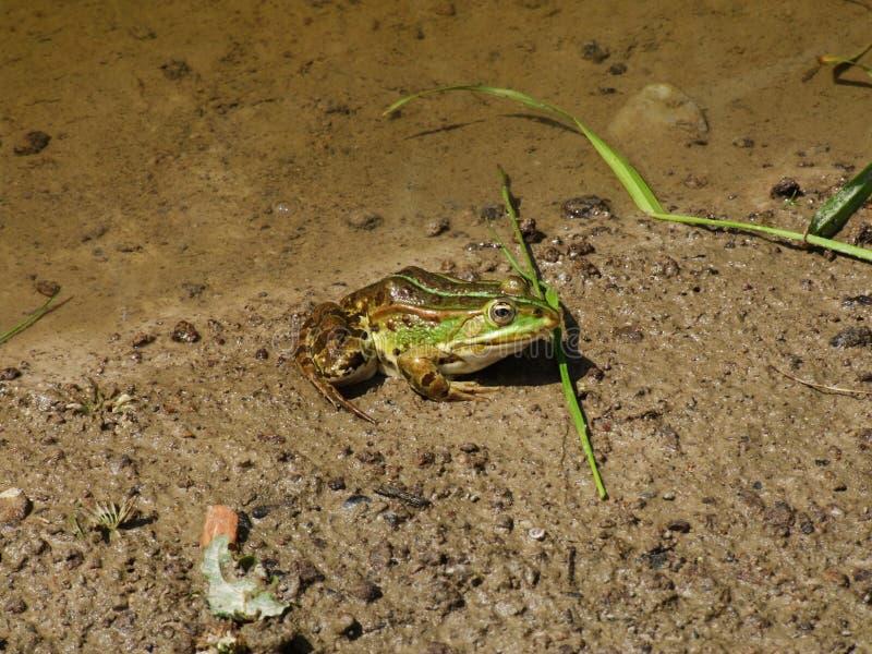 Gruba żaba 1 fotografia stock