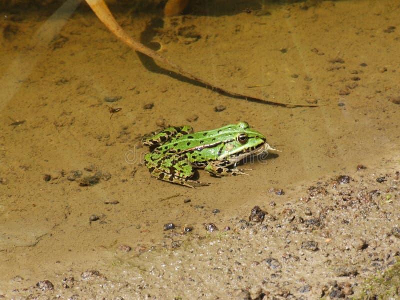 Gruba żaba 2 fotografia stock
