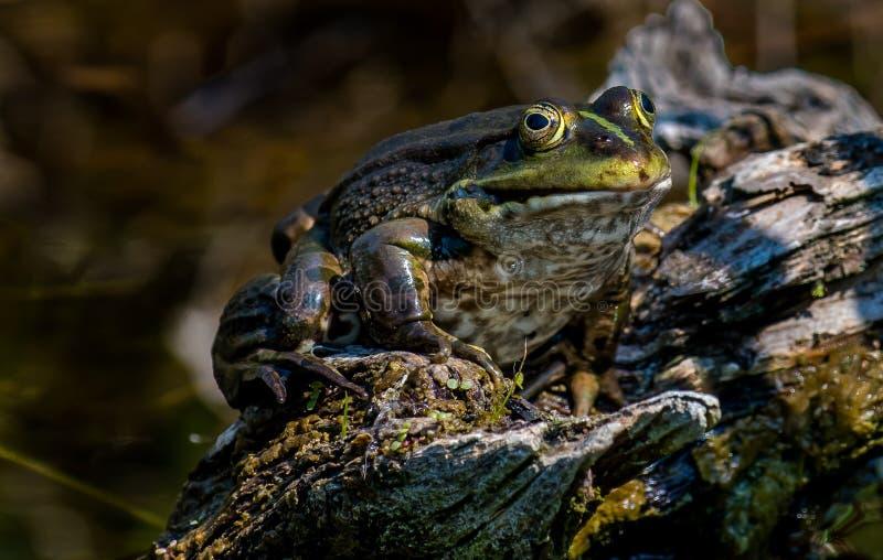Gruba żaba siedzi na drzewnym fiszorku obraz stock