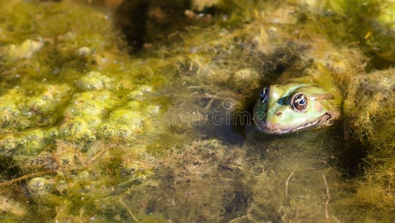 Gruba bagno żaby zieleni brązu camoflage amfibia, naturalnego siedliska greenery zasadza staw Selekcyjna ostrość obraz stock