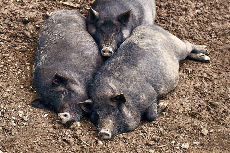 Grube świnie relaksuje na gospodarstwie rolnym obrazy stock