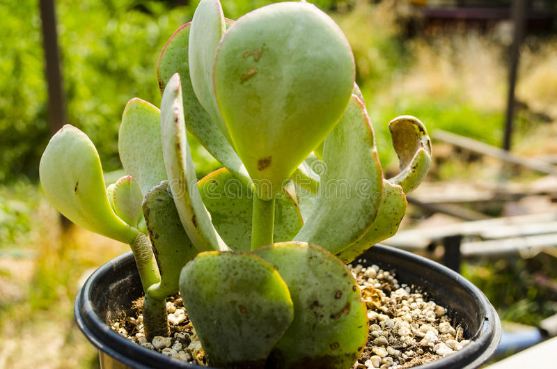 Grubosza Arborescens Srebnego dolara chabeta roślina obrazy stock