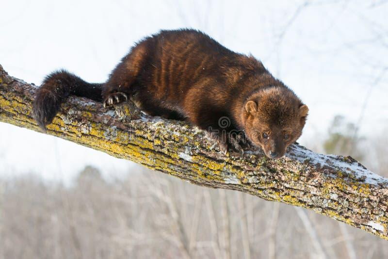 Gruby fisher kłaść przez drzewo zdjęcia royalty free