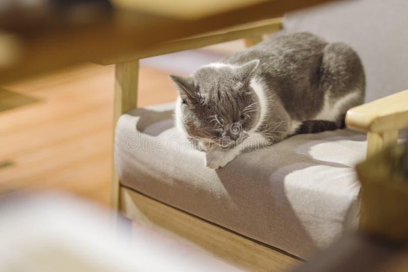 Gruby kot odpoczywa na stolec fotografia stock