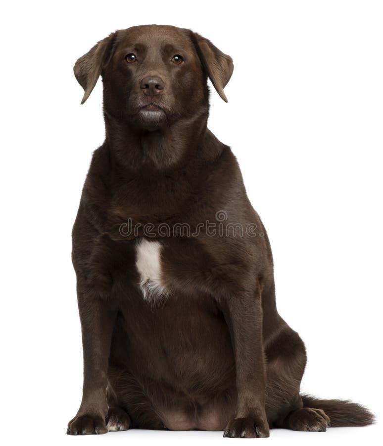Gruby labradora aporter, 7 lat, siedzi zdjęcie stock