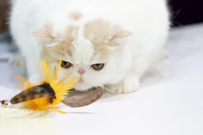 Gruby Perski światło białe - brązu krótkiego włosy sztuka przy piórkowym żółtym kotem i gapienia bawją się na białym stole fotografia stock