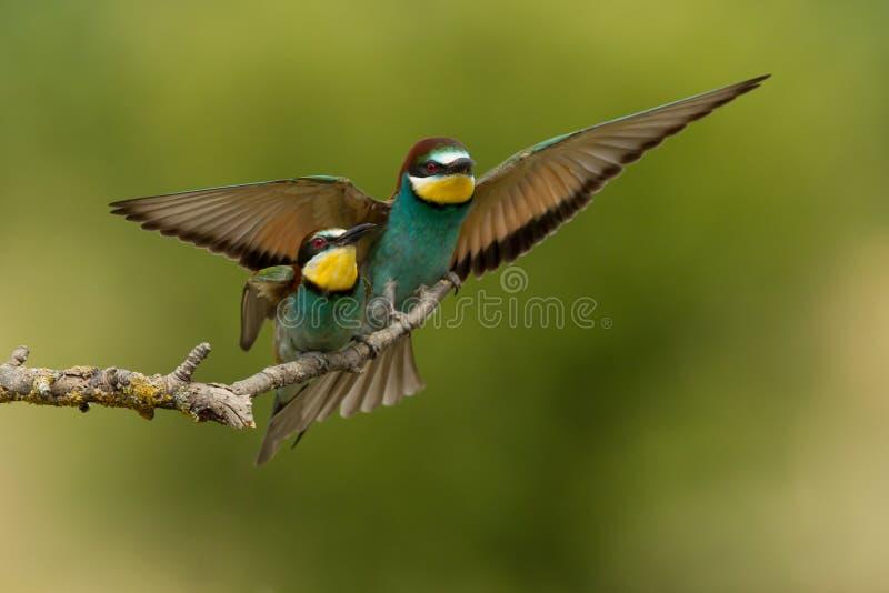 Gruccione (apiaster del Merops) fotografie stock libere da diritti