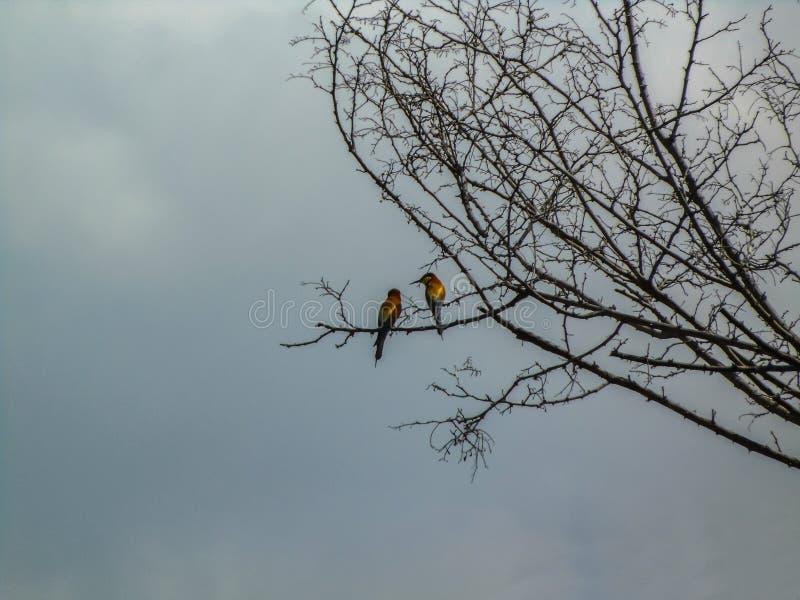 Gruccione due che si siede su un ramo di albero immagini stock