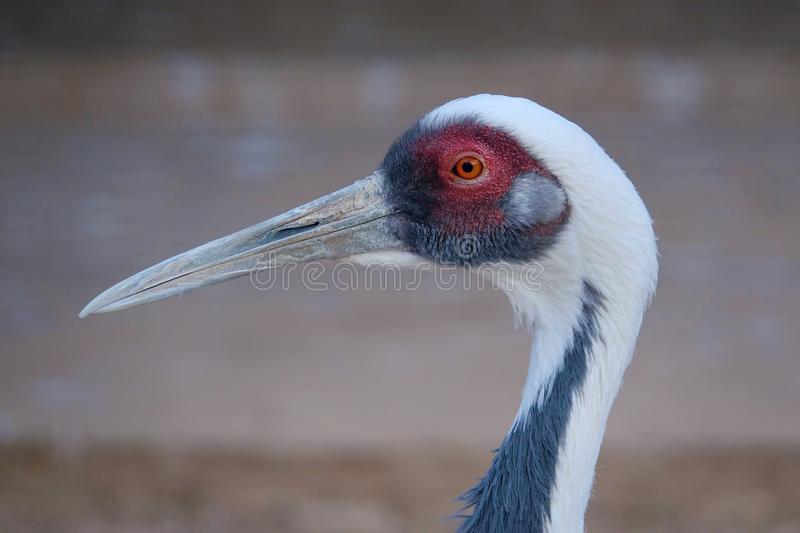 Grue Blanche-naped image stock
