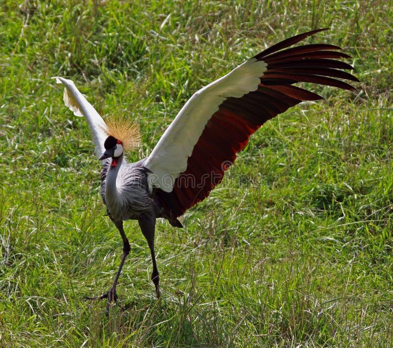Grue couronnée africaine photographie stock libre de droits