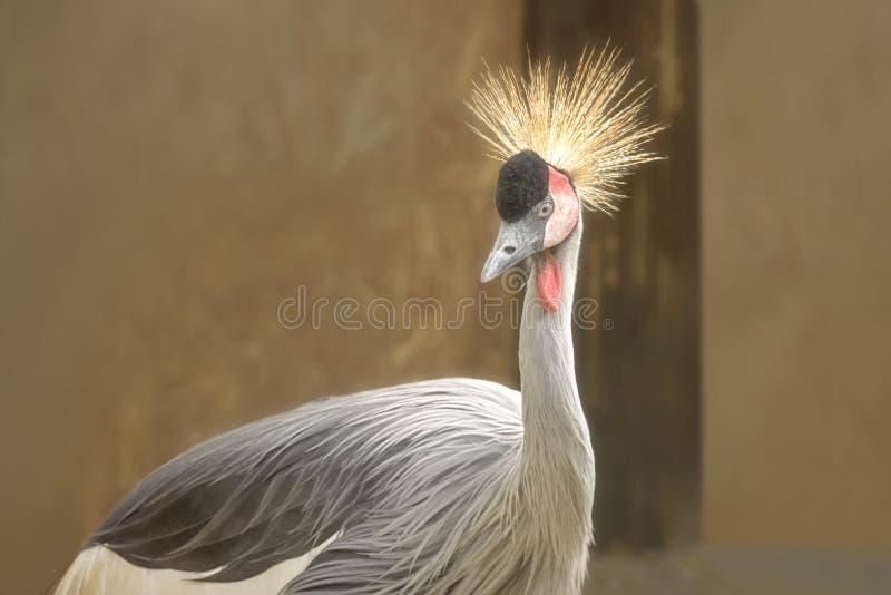 Grue couronnée grise, regulorum de Balearica, un oiseau dans la famille de grue, fin de Gruidae  photographie stock