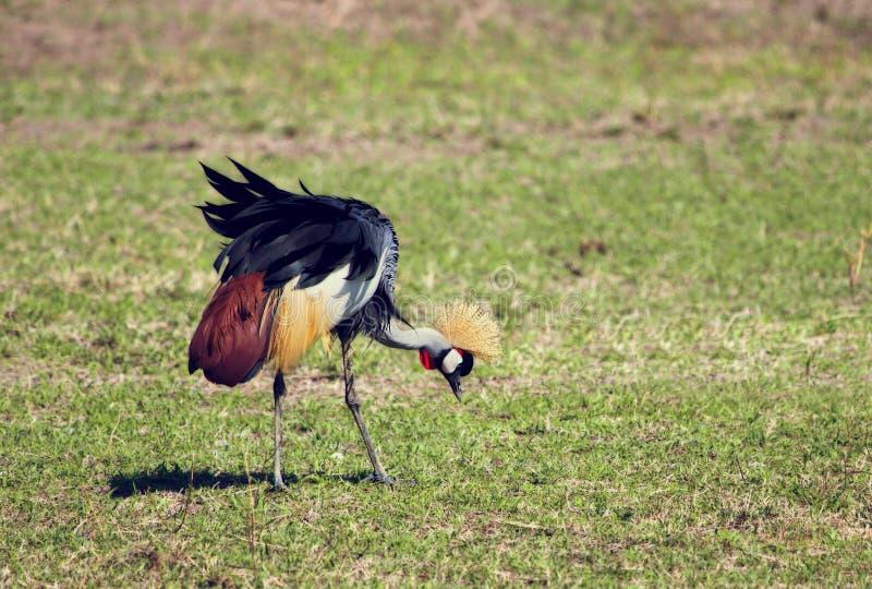 Grue couronnée par gris. L'oiseau national de l'Ouganda image libre de droits
