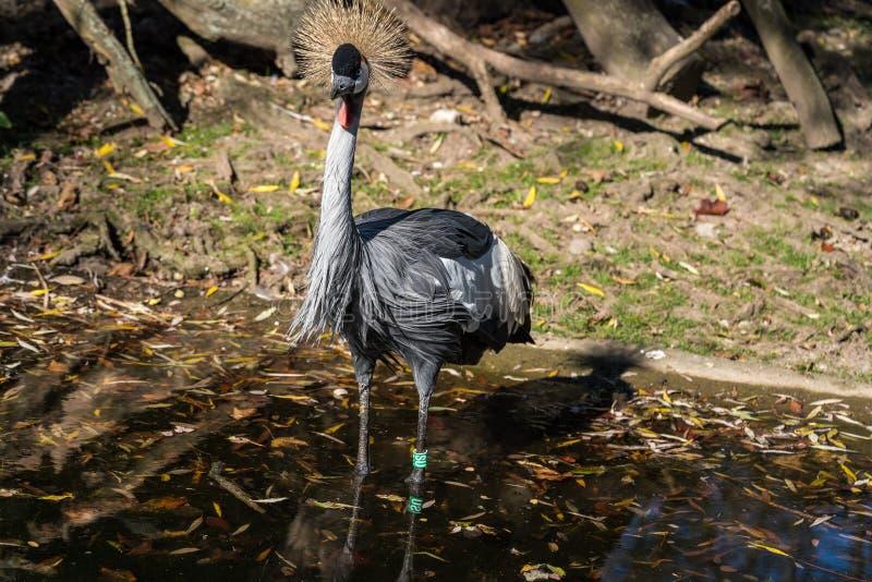 Grue couronn?e noire, pavonina de Balearica dans le zoo images libres de droits