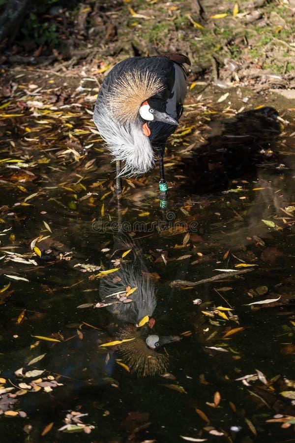 Grue couronn?e noire, pavonina de Balearica dans le zoo photos libres de droits