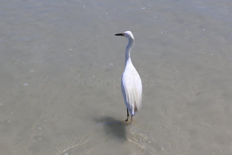 Grue marchant dans l'eau photos stock