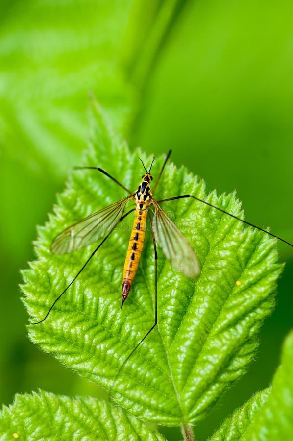 Grue-mouche repérée par portrait d'insecte au repos image libre de droits
